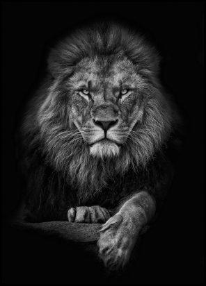 Focused lion
